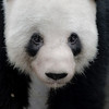 Giant Pandas : Bifeng Gorge Base of China Panda Protection and Research Center in Bifeng (near Ya'an) China and Chengdu Research Base of Giant Panda Breeding