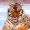 Siberian Tigers : Photographed at the Siberian Tiger Park, Harbin. It is the largest (355.8 acres) wild natural park for tigers in the world where 400+ tigers roam freely.